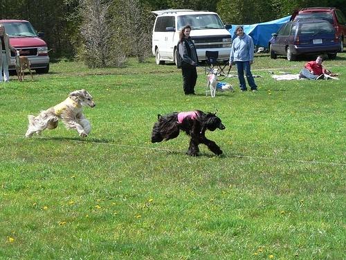 Afghan Hound, 2, black, running