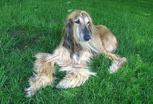 Afghan Hound, 3, gray, laying in the grass