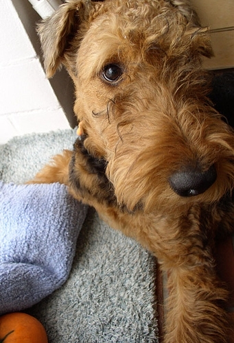 Airedale Terrier, 1, brown, haning out