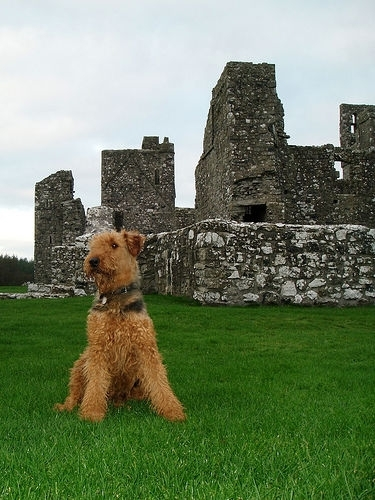 Airedale Terrier, 2, brown, picture from a field.