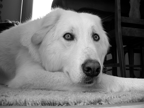 Akbash Dog, 2 years, white, white eyes