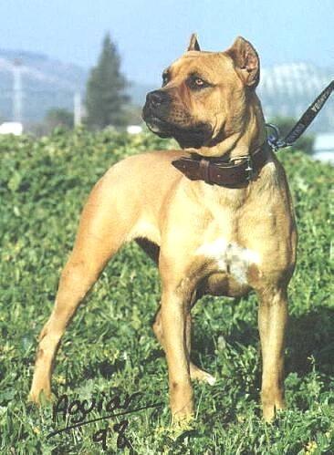 Alano Espanol, 2 years, brown, looking tough