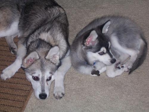 Alaskan Klee Kai, 8 months, gray, hanging out