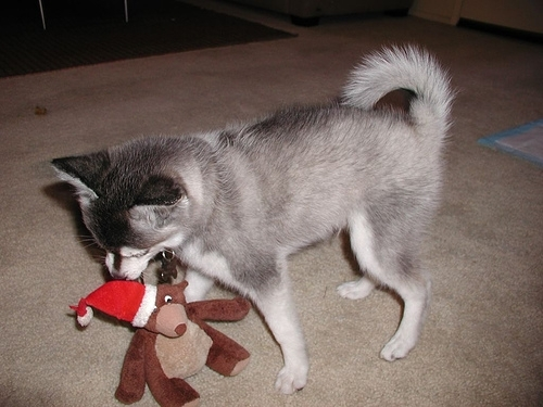 Alaskan Klee Kai, 8 months, gray, tearing up a dog