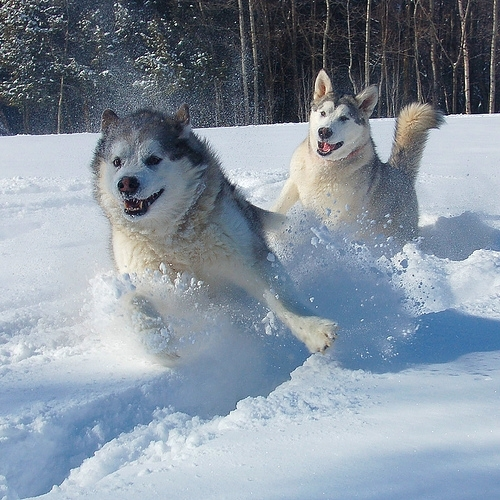Alaskan Malamute, 2 years, pepper, running in the snow