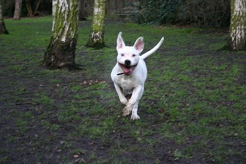 American Bulldog, 2 year, white, running in the grass.