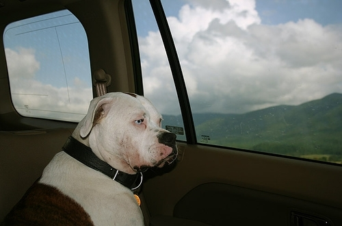 American Bulldog, 4 year, white and brown, looking out the window!