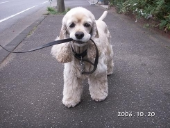 Cocker Spaniel, 8 months, cream, holding her leash.
