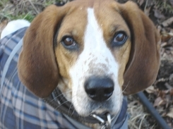 American Foxhound, 5 months, brown and white, soulful eyes.