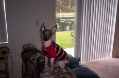American Hairless Terrier, 1 year, brown, standing around.