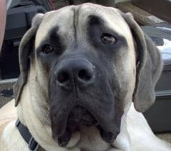 American Mastiff, 8 month, brown, Beautiful face.
