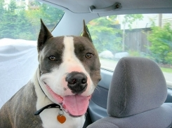 American Staffordshire Terrier, 9 months, blue and white, Going go for a ride.