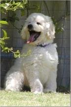 Australian Labradoodle, 1 year, white, Smile!