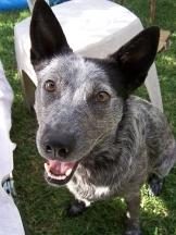 Australian Stumpy Tail Cattle Dog, 2  years, pepper, Smiling.
