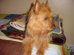 Australian Terrier, 8 months, Brown, Looking away.