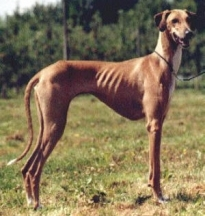 Azawakh Hound, 1 year, Brown, Looking Skinny.