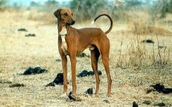 Azawakh Hound, 2 years, Brown, Great Photo.