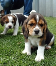 Beagle, 8 weeks, Jimmy and Brean, Very young.