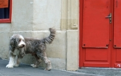 Bearded Collie, 2 year, Black and White, By the red door.