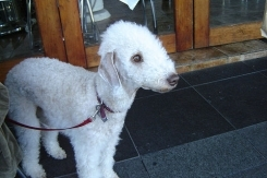 Bedlington Terrier, 1  year, White, Haning out.