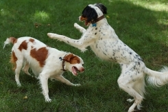Brittany Spaniel, 2 years, spotted, Playing around.