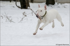 Bull Terrier, 1 year, White, Running with a stick.