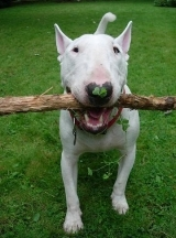 Bull Terrier, 1 year, White, Holding a stick.