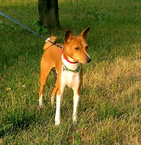 Basenji, 1 year, Brown, Proud dog.