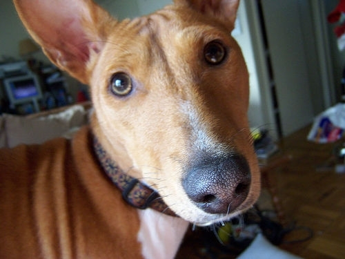 Basenji, 2 years, Brown, Beautiful face.