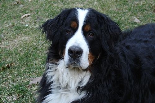 Bernese Mountain Dog, 9 months, Black and White, Happy dog.