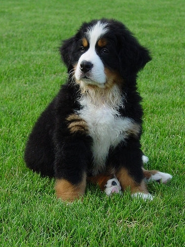 Bernese Mountain Dog, 8 weeks, Black and White, Young guy.