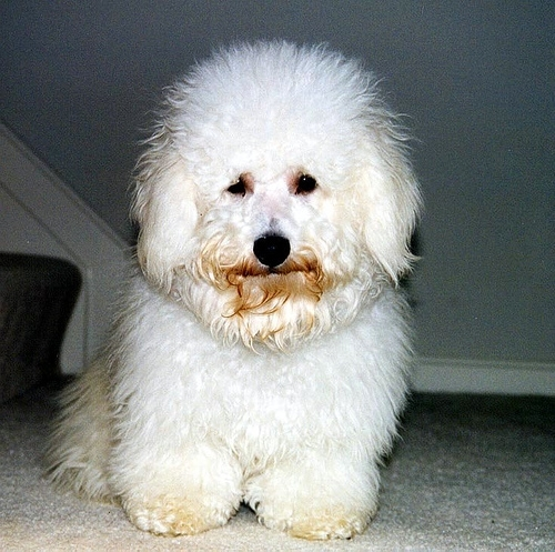 Bichon Frise, 2 years, White, Dirty mouth.