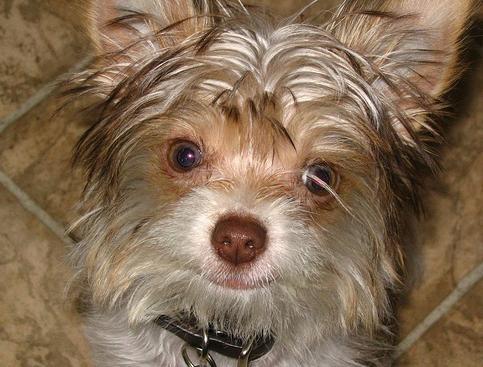 Biewer, 1 year, Brown, Lucky face.