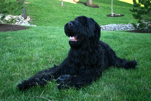 Black Russian Terrier, 1 year, black, Laying down.