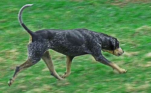 Bluetick Coonhound, 1 year, spotted, Hanging around.