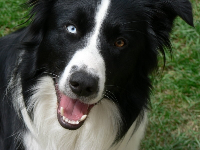 Border Collie, 2 years, Black and White, Blue eye!