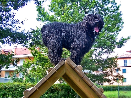 Bouvier des Flandres, 2 years, Black, On top of a stand.