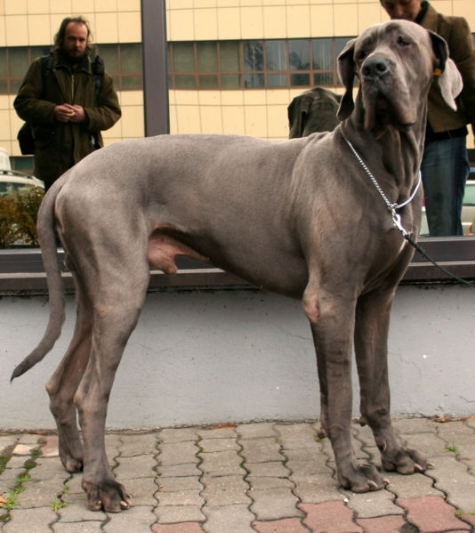 Great Dane, 3 years, blue, Blue side shot.