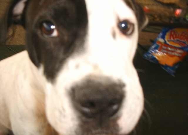 Alapaha Blue Blood Bulldog, 9moths, white/black, best dog I ever had!