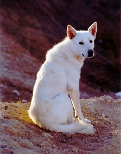 Canaan Dog, 2 years, White, Looking great.
