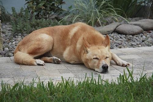 Canaan Dog, 1 year, Gold, Sleeping.