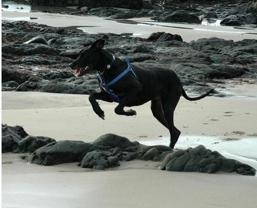 Great Dane, 2 years, Black, Flolicing at the beach.