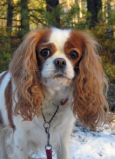 Cavalier King Charles Spaniel, 1 year, Brown and White, Looking good.
