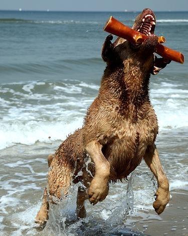 Chesapeake Bay Retriever, 2 years, Brown, Great catch!