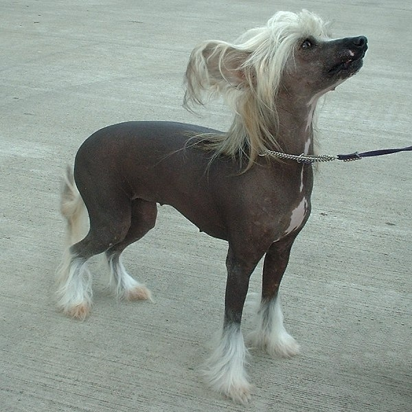 Chinese Crested, 1 year, Hairless, He gets cold.