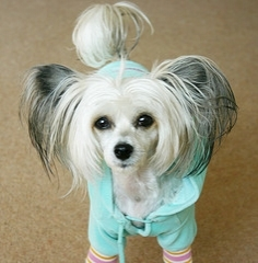Chinese Crested, 8 months, White, Looking cute.