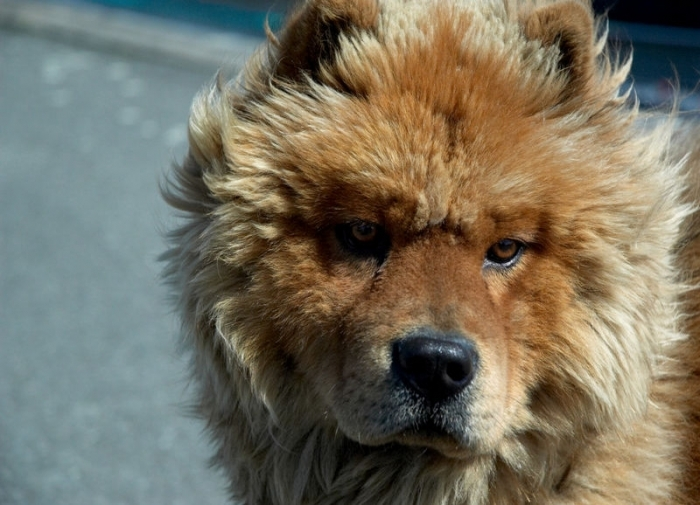 Chow Chow, 1 year, Red, Nice face.