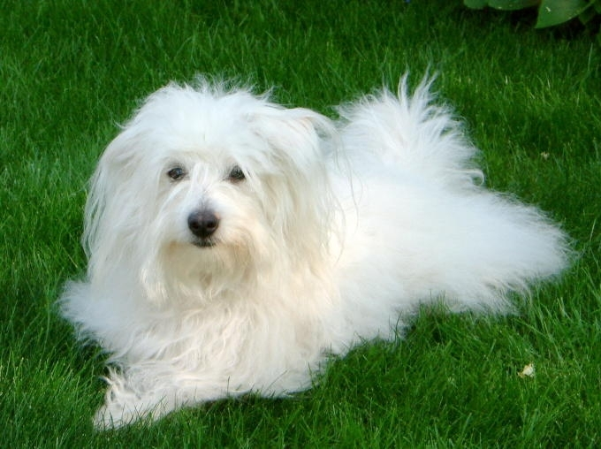 Coton De Tulear, 8 months, white, Looking like a cotton ball.