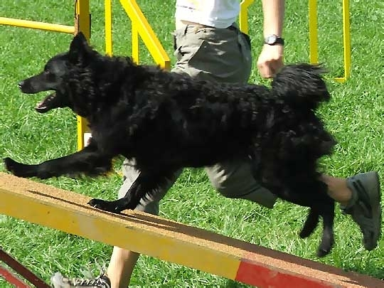 Croatian Sheepdog, 8 months, Black, doing dog tricks