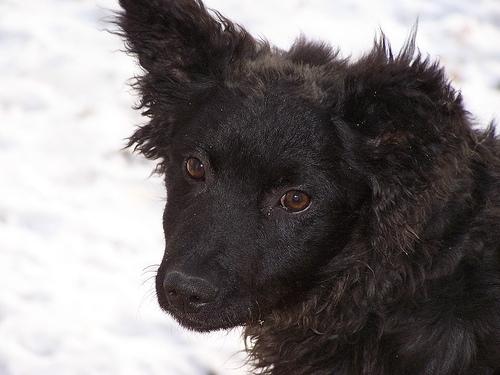 Clumber Spaniel, 6 months, black, Looking good.